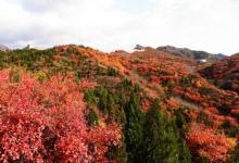 北京八达岭公园红叶进入最佳观赏期